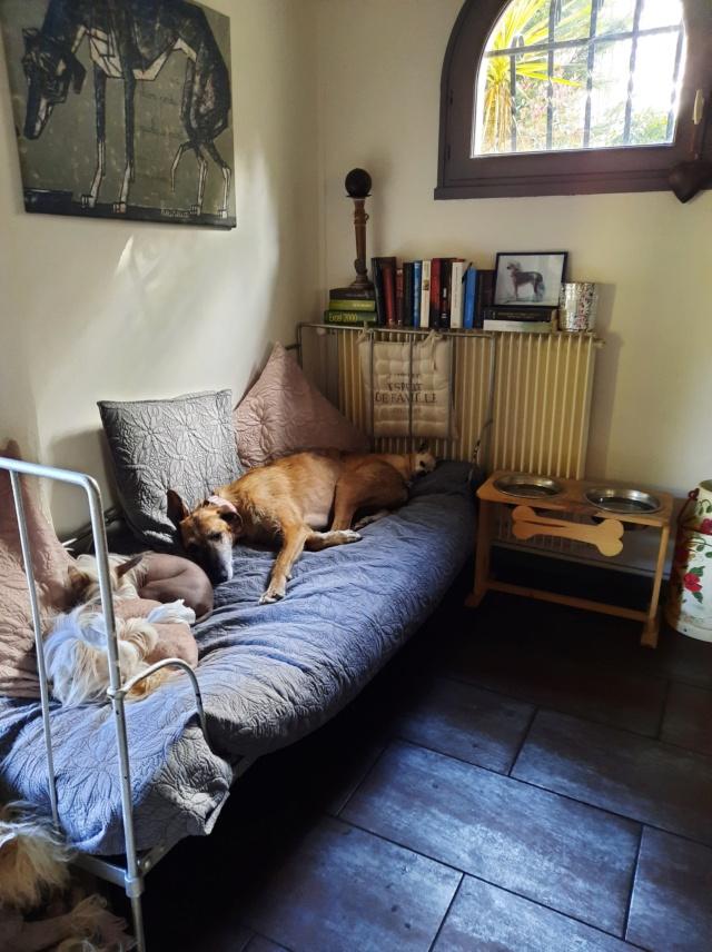 Pipo ,merveilleux galgo à l'adoption de 2 ans reservé  - Page 2 Pipo_111