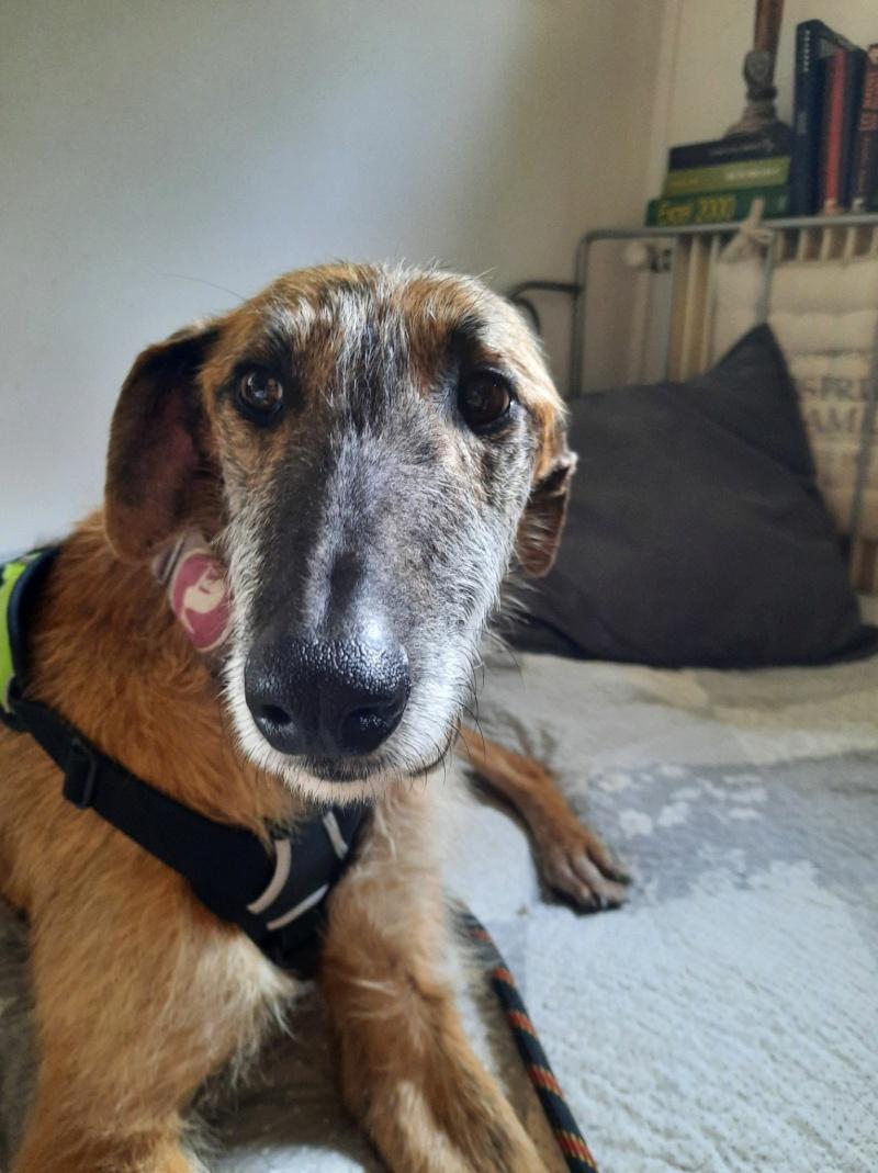 Pipo ,merveilleux galgo à l'adoption de 2 ans reservé  Pipo_m12