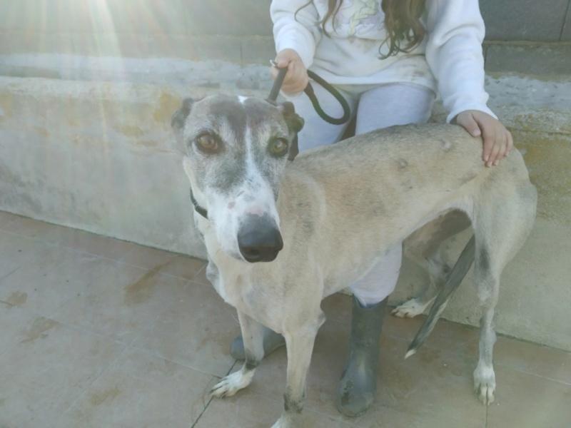 Pépita galga à l'adoption urgent reservée  Pzopit10