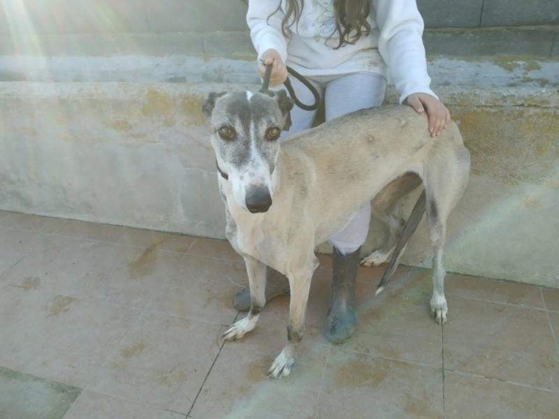 Pépita galga à l'adoption urgent reservée  Pzopit11