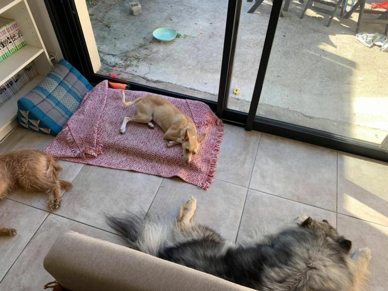Ramon adorable podenco à l'adoption Scooby France  Ramon_15