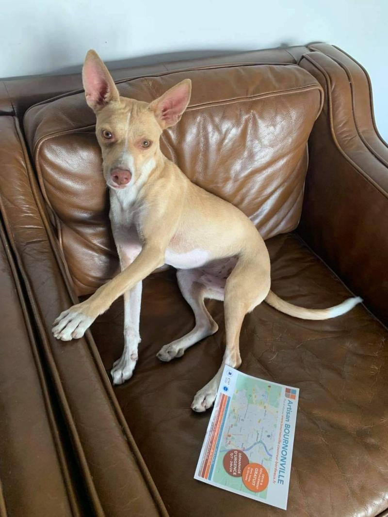 Ramon adorable podenco à l'adoption Scooby France  Ramon_17