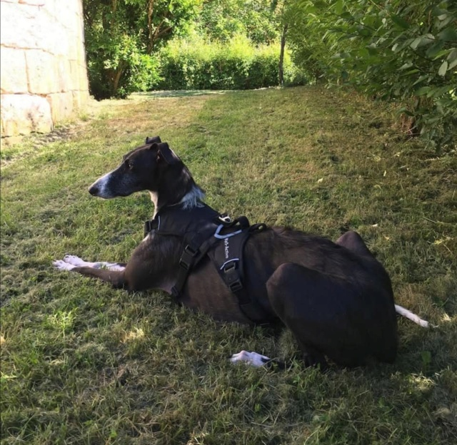 Rita adorable galga tres sociable adoption Scooby France Adoptée  Rita_a16