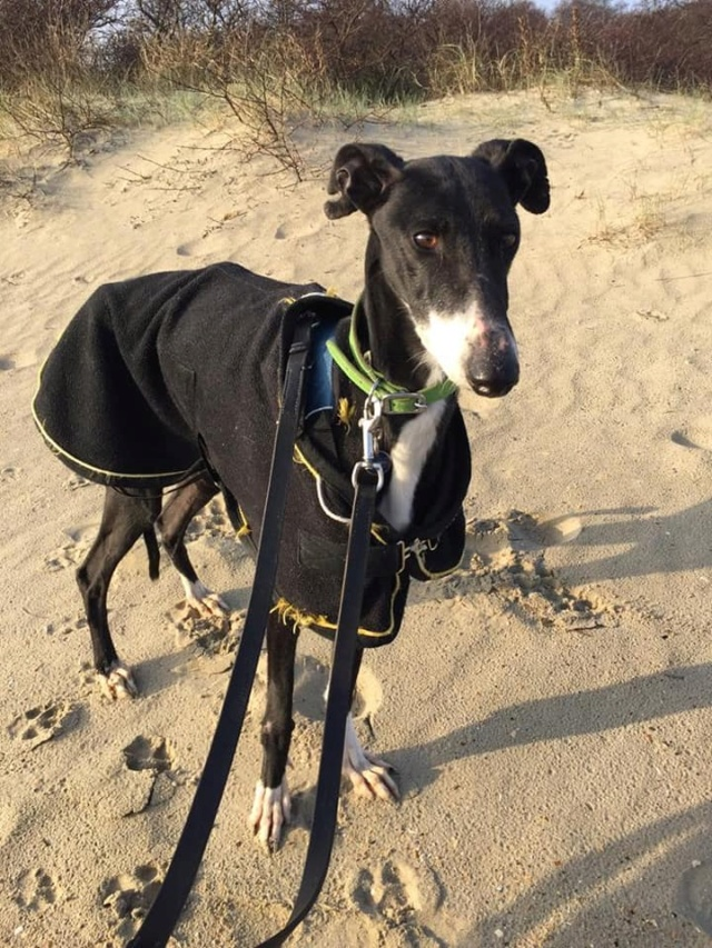 Stella une belle galga  noire à l'adoption Scooby France  Stella12