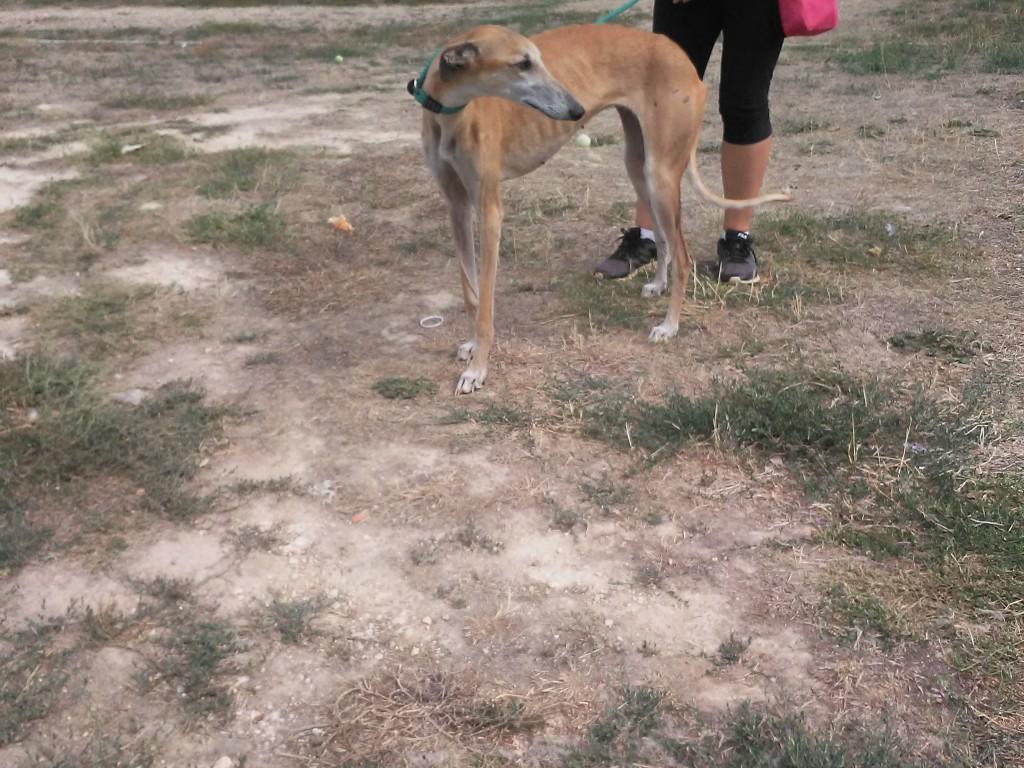 Vania galga à l'adoption Scooby France reservée  Vania10