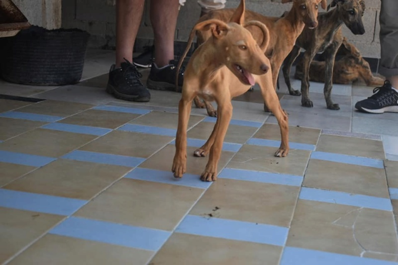 Bébé podenca Zazie  à l'adoption Scooby France Adoptée  Zazie10