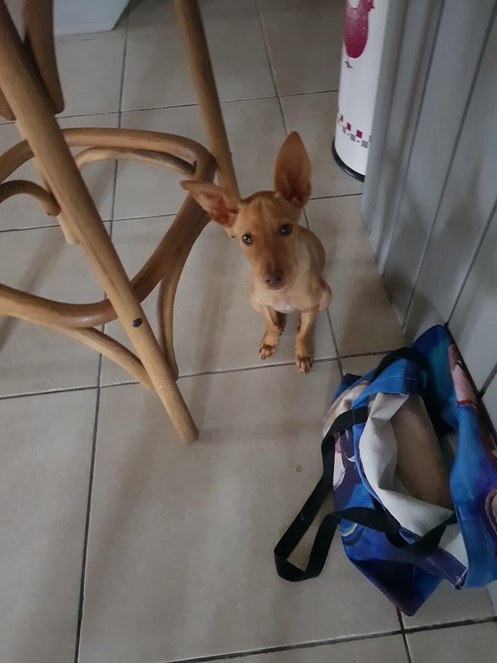 Bébé podenca Zazie  à l'adoption Scooby France Adoptée  Zazie_11