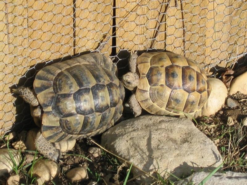 Fan aussi de tortues ! Tortue10