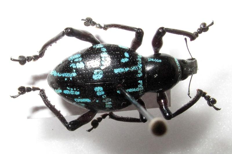 Charançon bleu et noir Img_4611