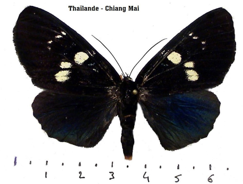Papillon thaïlandais Photos10