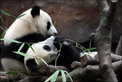 le panda géant -hongk10