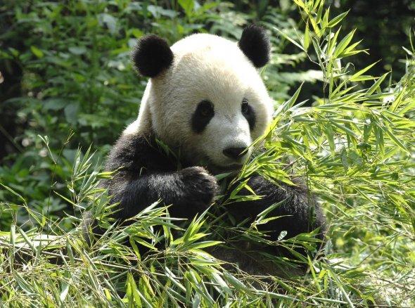 le panda géant Panda-10