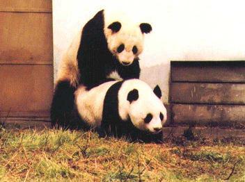 le panda géant Panda111