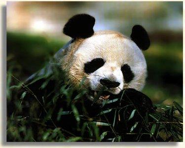 le panda géant Panda210