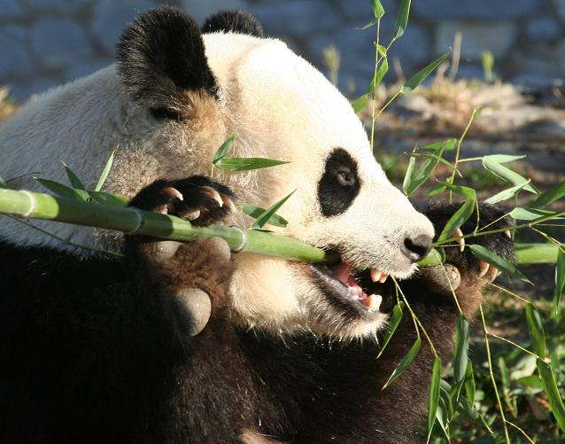 le panda géant Panda211