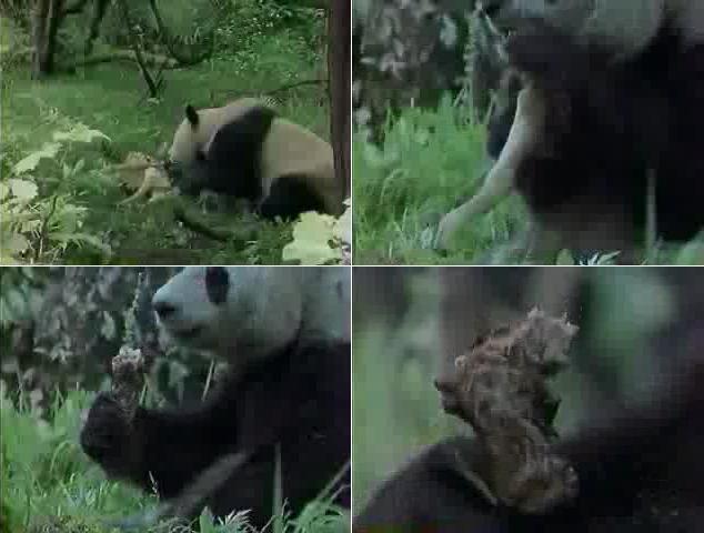 le panda géant Panda_10