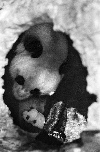 le panda géant Panda_11
