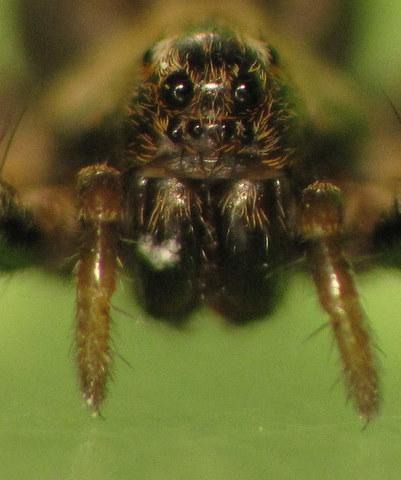 Araignée-loup de Ré Img_5611