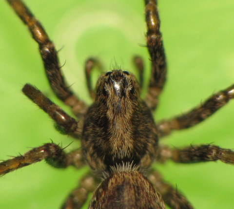 Araignée-loup de Ré Img_5612