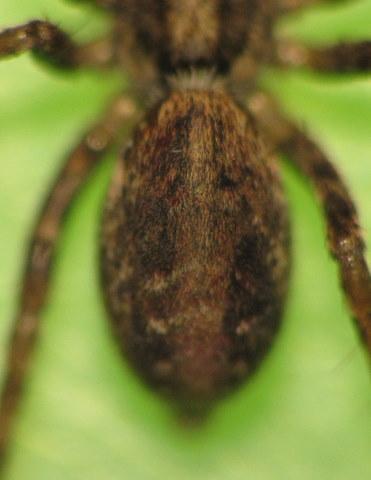 Araignée-loup de Ré Img_5613