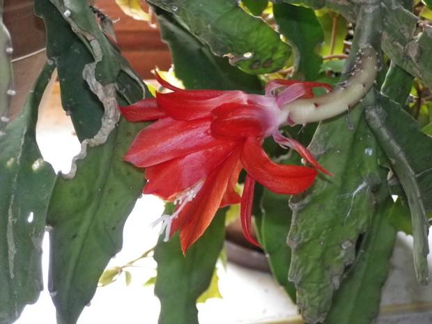 Epiphyllum !!! 03032012