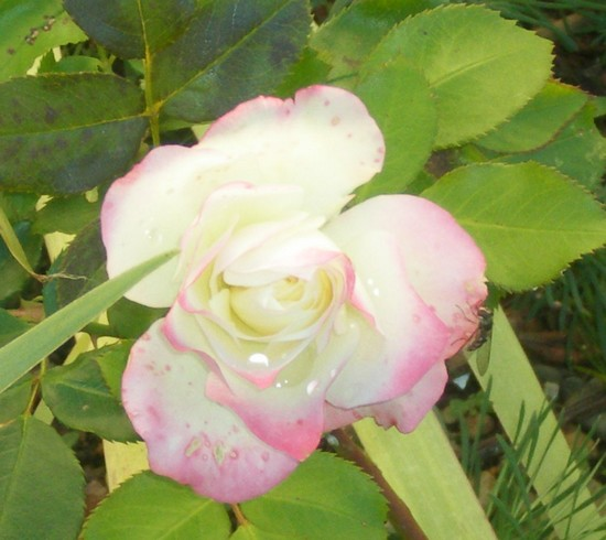 Rosa 'Jubile du Prince de Monaco' Jubila10