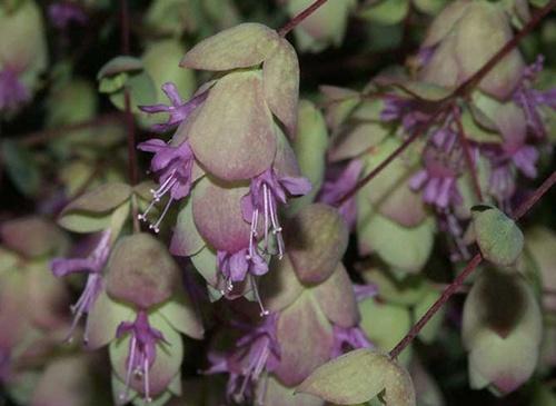 Origanum rotundifolium 'Kent Beauty' Origan10