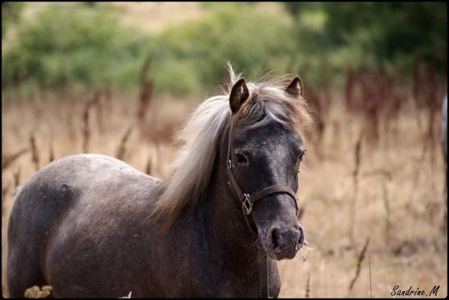 poney male appaloosa OC Dsc06810