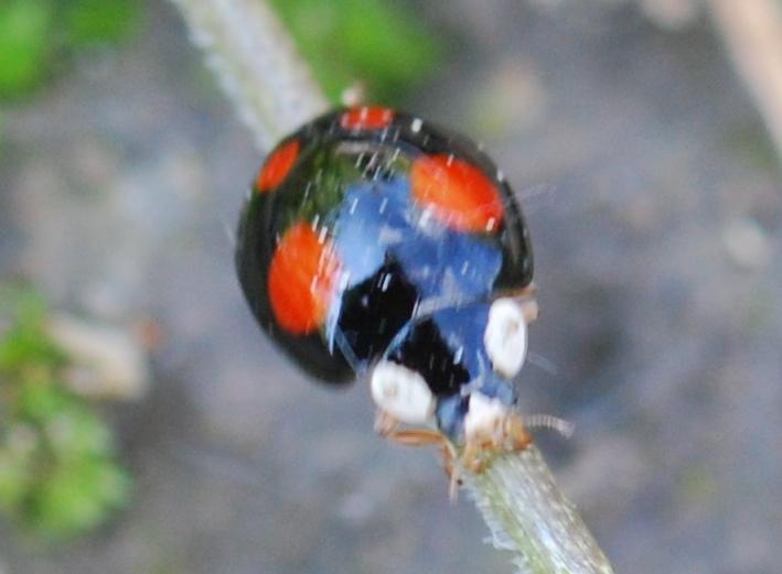 Lieveheersbeestjes Veelkl11