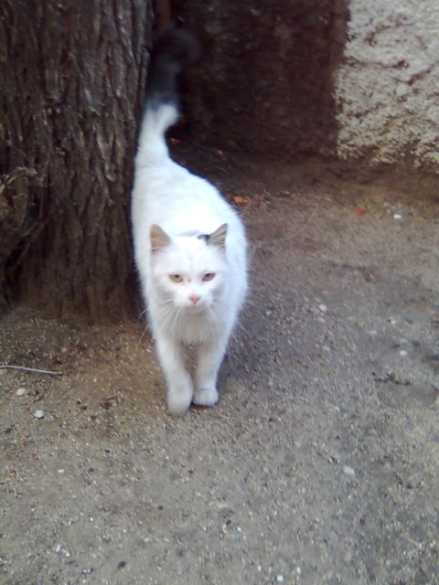 Messi, preciosa gata blanca. Malvive en las calles de Madrid Messi110