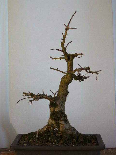 Erable champêtre Mini-p23