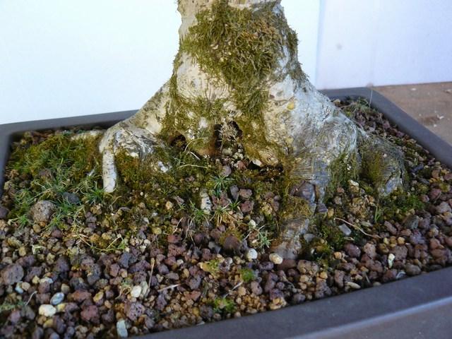 Erable champêtre Mini-p28