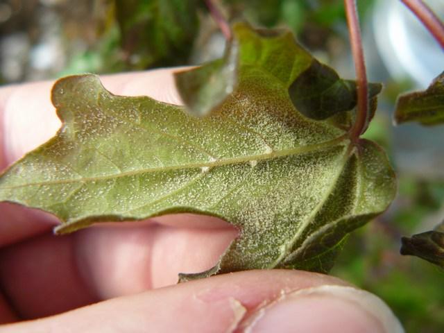 Feuilles erable champêtre Mini-p29