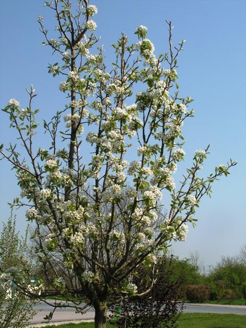 je vous présente mes fruitiers en fleurs Pict1512