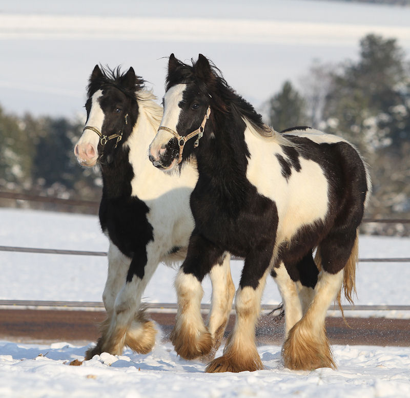 Rocket Man et Jerry junior, poulains Gypsy Cob Poulai40