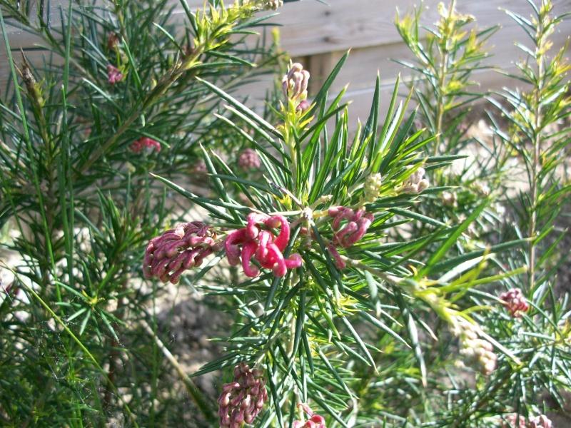 L'identification continue   Grevillea juniperina 100_8912