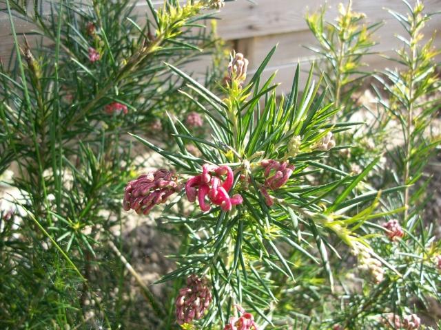L'identification continue   Grevillea juniperina 100_8913
