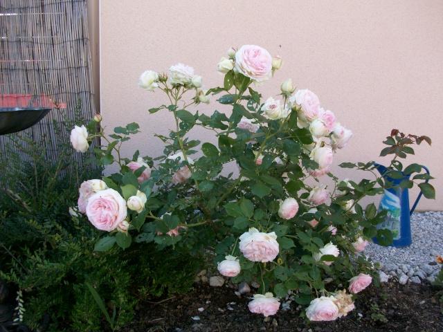3 de mes rosiers dont un sans nom 100_9811
