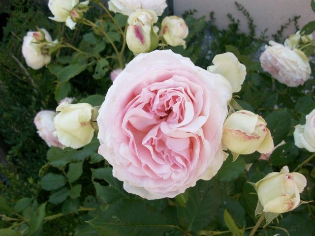 3 de mes rosiers dont un sans nom 100_9812