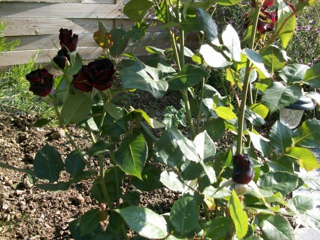 3 de mes rosiers dont un sans nom 100_9813
