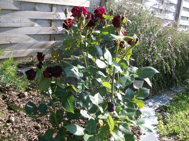 3 de mes rosiers dont un sans nom 100_9814