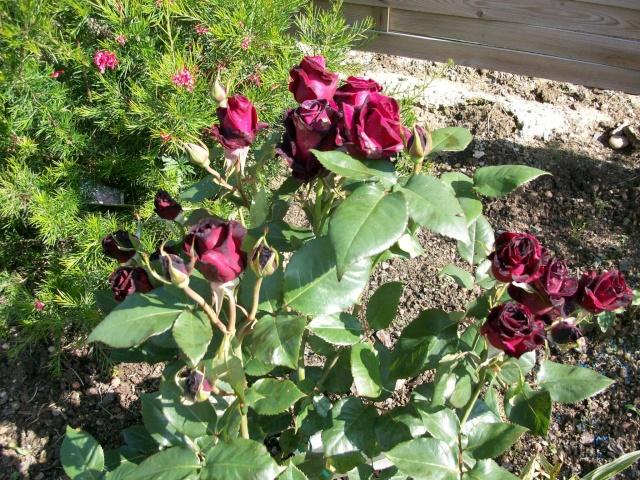 3 de mes rosiers dont un sans nom 100_9815