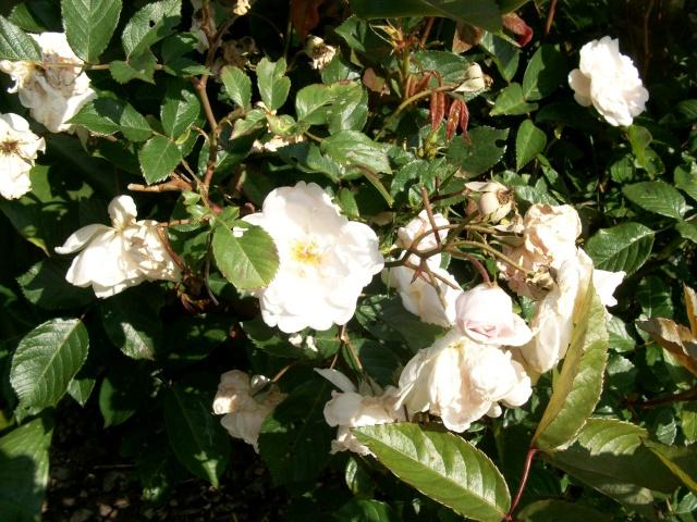 3 de mes rosiers dont un sans nom 100_9816
