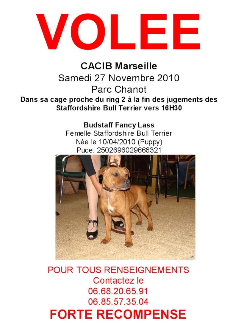 Staffie volée à Marseille Affich10