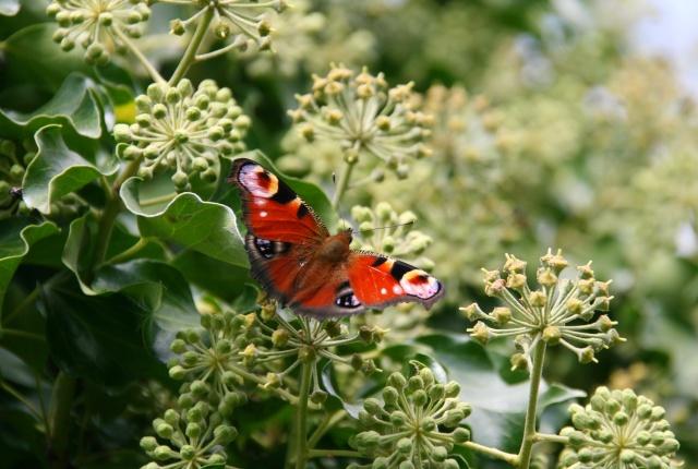 Immortaliser le Fruit de notre Passion Papill10