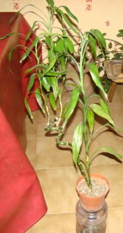 bambou lucky 00317