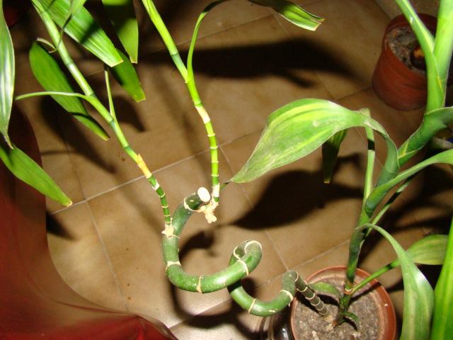 bambou lucky 00422