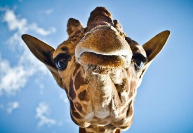 Le savoir inutile du jour - Page 27 Girafe10