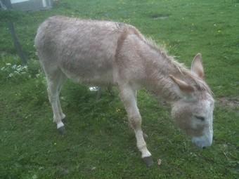 ZEBULON - ONC âne né en 2008 - adopté en octobre 2010 par Anita Ane_du15