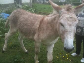 ZEBULON - ONC âne né en 2008 - adopté en octobre 2010 par Anita Ane_du16